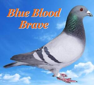 RACING PIGEONS - URGENT CLEARANCE Upper Coomera Gold Coast North Preview