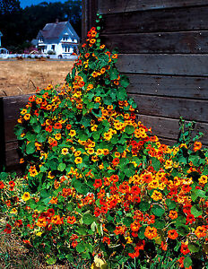 Nasturtium Tall climbing mix - Tropaeolum - 45 seeds - HH Annual