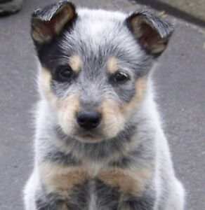 Blue Heeler Male Puppy wanted