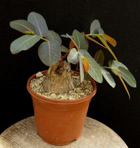 Phyllanthus mirabilis,Caudex,Euphorbia,Bulb4