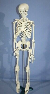 Human Anatomical Skeleton Educational Student 34 W Stand