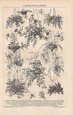 Ampelpflanzen Petunie Judenbart Fuchsie HOLZSTICH von 1882 Pfennigkraut
