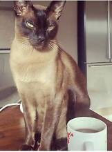 LOST CAT: Jimmy - Tonkinese Somers Mornington Peninsula Preview