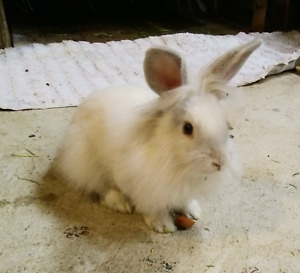 Beautiful 10 week old male bunny needs a home