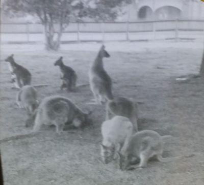 Kangaroos In Llton  Loton    Park  Magic Lantern Glass Photo Slide
