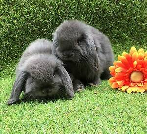 Pure Bred Mini Lop Babies/ Variety Colours/Christmas Ready Perth Region Preview