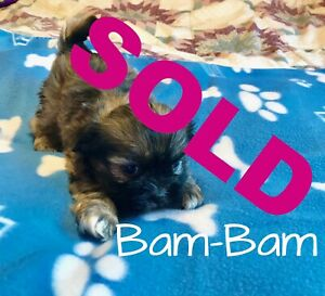 One Pretty Little Shih Tzu left for sale! Meet BAM-BAM!