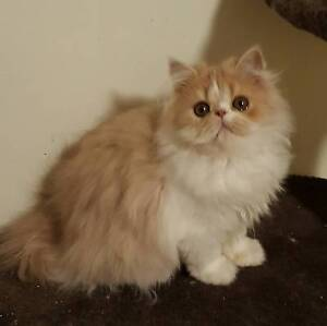 Purebred Persian Kittens for sale Roxburgh Park Hume Area Preview