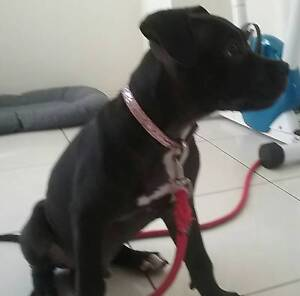 american staffy Wyong Wyong Area Preview