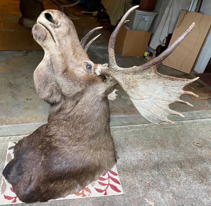 Taxidermy Moose Head Large Wall Mount Beautiful (Message For More Details)