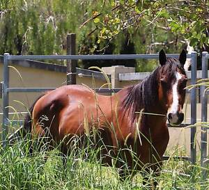 Retirement Home For My Qh Gelding Aspley Brisbane North East Preview