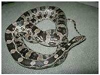 Female Anery corn snake for sale
