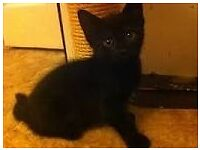 Female black kitten