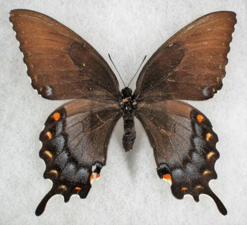 Insect/Butterfly/ Papilio alexiares garcia - Female Dark Form