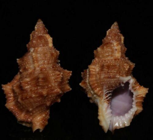 Seashells Bursa latitudo FROG SHELL 47mm F+++/GEM Superb Color Marine Specimen