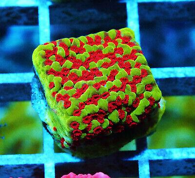 Jason Fox Reverse Sunset Monti Montipora Zoanthids Paly Zoa Soft Coral WYSIWYG - $7.50
