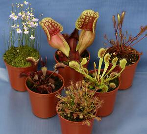 6 CARNIVOROUS PLANT COLLECTION: 2 Venus Fly Trap;2 Drosera Capensis;2 Sarracenia