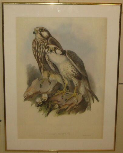 Antique JOHN GOULD Falco Jugger, Grey (Jugger Falcon) Lithograph - Birds of ASIA