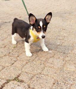 Cute loving corgi puppy
