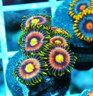 Laser Lemon Zoa Palythoa Zoanthids Paly Zoa Soft Coral WYSIWYG - $36.00
