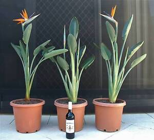 LARGE Established & in flower: Bird of Paradise Strelitzia PLANTS Hillarys Joondalup Area Preview