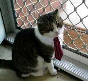 Cat or small dog tie & shirt collar.  Great xmas gift Ascot Belmont Area Preview