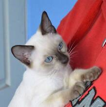 TONKINESE KITTENS - SUPER FRIENDLY and; FULL OF PURRS Elimbah Caboolture Area Preview