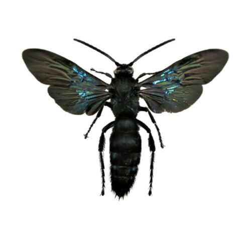 REAL MEGASCOLIA AZUREA BLACK HORNET WASP INDONESIA MOUNTED WINGS SPREAD