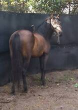 Welsh pony cob type for sale Wallan Mitchell Area Preview