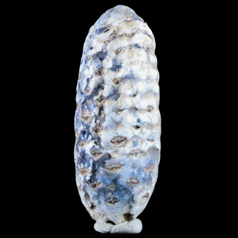 """1.9"""" Fossil Pine Cone Equicalastrobus Replaced By Agate Eocene Age Seeds Fruit"""