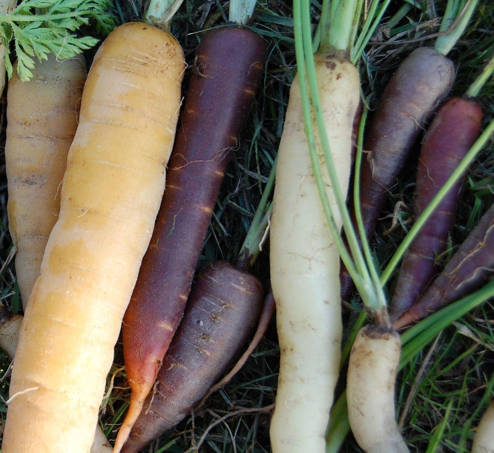🥕 200 Samen Möhre bunter Mix, weiß, gelb, orange, lila Karotte Möhren Karotten