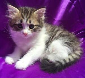 Siberian Kittens For Sale Malabar Eastern Suburbs Preview