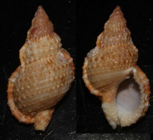 Seashells Bursa granularis GRANULAR FROG SHELL 46.7mm F+++/GEM Marine Specimen
