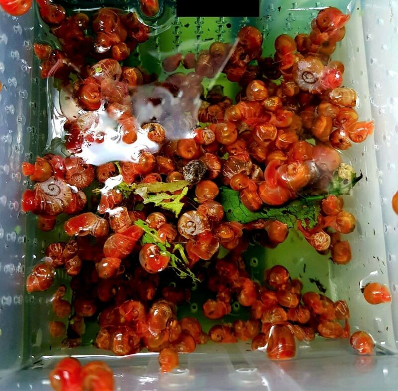 10+ RED RAMSHORN SNAILS Live Freshwater AquariumShips PRIORITY MAIL Same Day