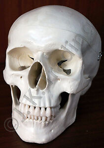 Life Size Human Adult Skeleton Skull Medical Anatomy Model 90 Day Guarantee