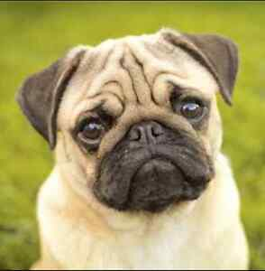Looking for our furever pug Essendon Moonee Valley Preview