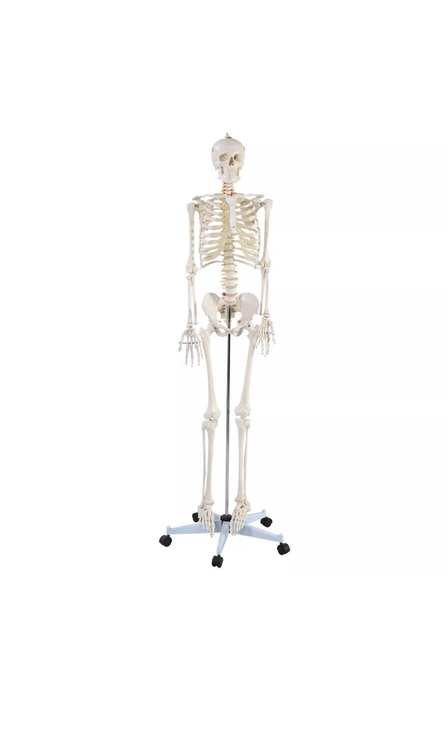 Skeleton Model Ebay