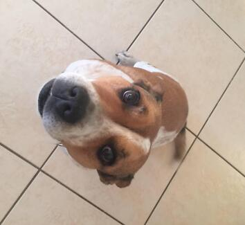 The most wonderful dog in the world needs a good home… Wavell Heights Brisbane North East Preview