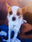 Looking for male chihuahua Colyton Penrith Area Preview