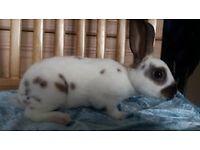 Rabbits (Mini Rex)