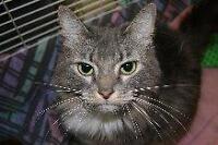 "Adult Female Cat - Domestic Medium Hair: ""Majesty"""