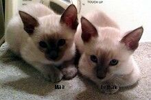 Pure breed siamese kittens