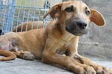 Baby Male  - Hound-Whippet