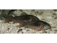 BRONZE CORY CATFISH TROPICAL FISH £2