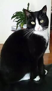 Desexed 4 yr old female black and white tuxedo coat Seaton Charles Sturt Area Preview
