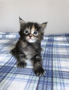 Huge registered Maine Coon kittens available!