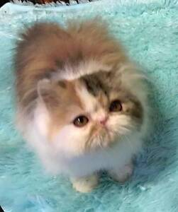 Pedigree Persians/exotic kittens SOME SHOW QUALITY Maddington Gosnells Area Preview