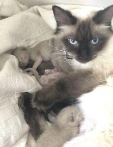 5 Ragdoll CROSS kittens