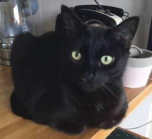 Beautiful black cat, 6, available for adoption Toowong Brisbane North West Preview