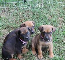FOR SALE PUPPIES BOERBOEL X Beaudesert Ipswich South Preview